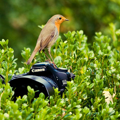 Robin on my Canon 30D (webted) Tags: bird robin animal garden funny utrecht lol candid snapshot humor nederland thenetherlands tuin lachen dier vogel zeist leuk roodborstje roodborst uniek supershot cotcpersonalfavorite challengeyouwinner tuinvogel robinonmycanon30d robinoncanon robinoncamera roodborstjeopcamera roodborstjeopcanon roodborstopcamera roodborstopcanon30d nieuwsgierigroodborstje vriendroodborst roodborstvriendje roodborstalsfotohulpje robinasassistent roodborstopfototoestel rarefotograaf vreemdefotograaf strangephotographer robintakesmypicture roodborstmaaktfoto