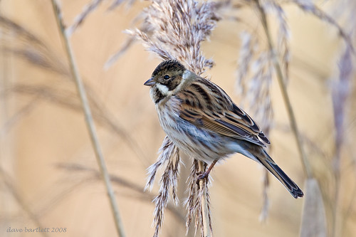 Reed bunting posing .. by DaveBartlett.
