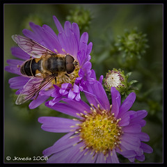 Micklemas bee (JKmedia) Tags: flower detail macro green nature yellow closeup garden insect wings eyes dof purple bokeh bee explore crop naturesfinest supershot mywinners anawesomeshot macrophotosnolimits canoneos40d 15challengeswinner macrolife excapturemacro micklemas jkmedia damniwishidtakenthat fantasticinsect goldenheartaward vosplusbellesphotos lesamisdupetitprince