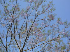 Jacaranda against sky (Pinecone Tortoise) Tags: blue sky jacaranda