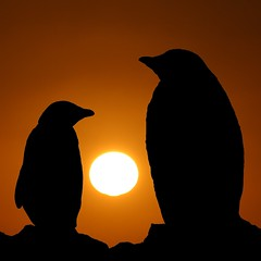 Penguins at Sunset (Heaven`s Gate (John)) Tags: cruise sunset orange sun snow black bird ice expedition station silhouette penguins gentoo beak feathers dramatic antarctica discovery paradisebay supershot 100faves 50faves mvdiscovery 10faves paradiseharbour 25faves johndalkin heavensgatejohn mywinners saariysqualitypictures amirantebrown reseasch penguinsatsunset