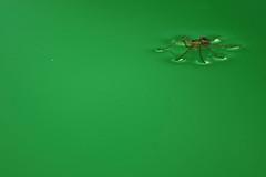 Floating Spider (Daniel Pascoal) Tags: verde green public water água insect spider inseto aranha danielpg danielpascoal