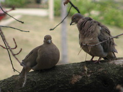 Flirting Tips: Even Doves Flirt