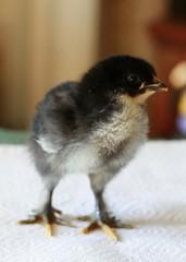 Dark Chick