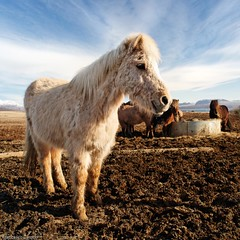 Smiling icelandic horse (francesco.ca) Tags: travel blue portrait sky horse brown white lake color cute nature water beautiful beauty smile smiling animal clouds rural standing square fur countryside iceland furry europe pretty close view farm rustic profile wide peaceful farmland soil chestnut backlit cloudscape equine icelandic equestre