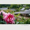 長谷寺 牡丹 (Eiji Murakami) Tags: summer japan sigma 日本 夏 nara foveon 奈良 長谷寺 牡丹 dp2