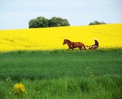 Skånetur (Marie Granelli) Tags: horse tree grass yellow skåne sweden söderslätt