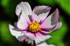 Open Flower (bryntaylor99) Tags: wild flower macro nature closeup garden outside petals nikon sigma mm 70300 d5000