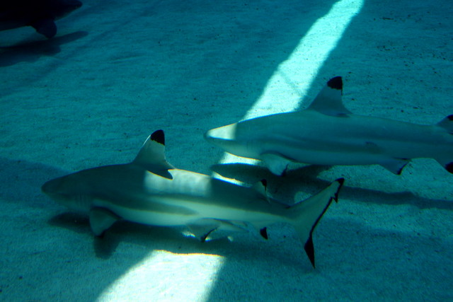 pair of sharks
