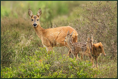 Mother Instinct (hvhe1) Tags: holland nature animal nationalpark twins heather wildlife young thenetherlands reserve fawn roedeer veluwezoom foe tweeling capreoluscapreolus interestingness3 specanimal hvhe1 hennievanheerden reekalf reegeit friendoffriends