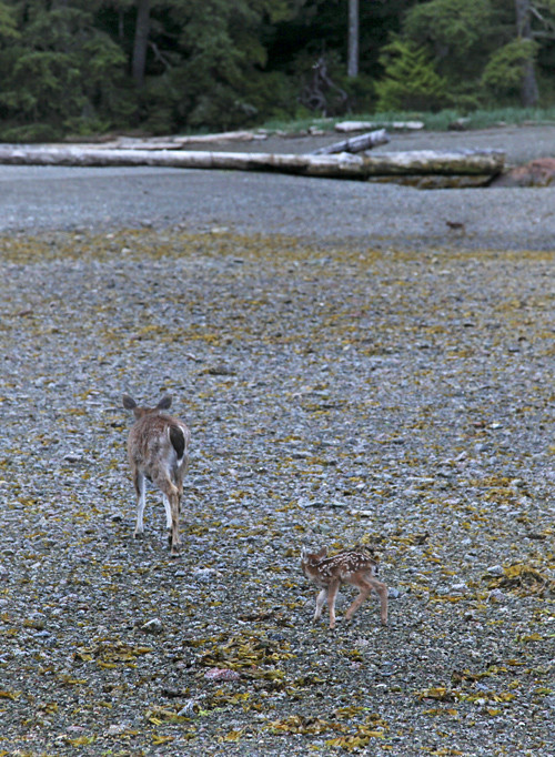 two fawns and mother on beach, Kasaan, Alaska