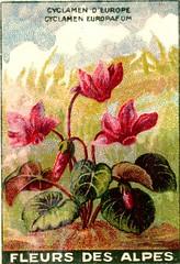 fleurs alpes 11