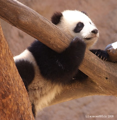 Sweet princess Zippy (somesai) Tags: animal animals smithsonian panda endangered giantpanda pandas giantpandas solovely