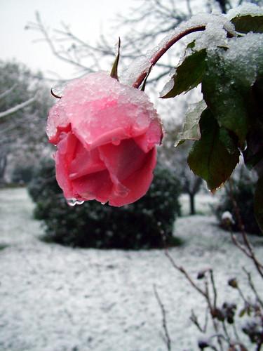 rosa rose rosae