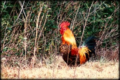 roadside rooster (thanker212) Tags: red gold rooster fowl photofaceoffwinner pfogold fotocompetition fotocompetitionbronze
