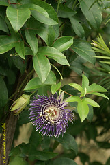 Passiflora laurifolia (Prof KMS) Tags: passiflora passifloraceae laurifolia buahsusu