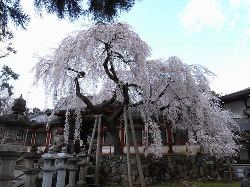 氷室神社(しだれ桜)-07