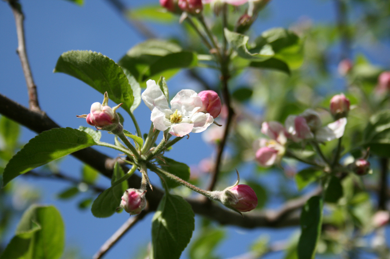 apfelblüte01