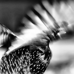 Starling (nickphotos) Tags: bw white motion black wings movement nikon starling off explore take flapping speedlight sb800 255 70300vr