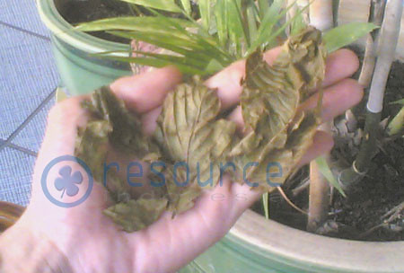 Kratom  Dried Leaves picture photo bild