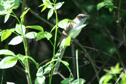 Black-billed Cuckoo {Coccyzus erythropthalmus}