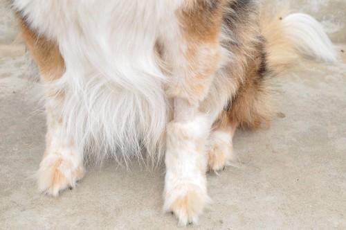 poodle foot
