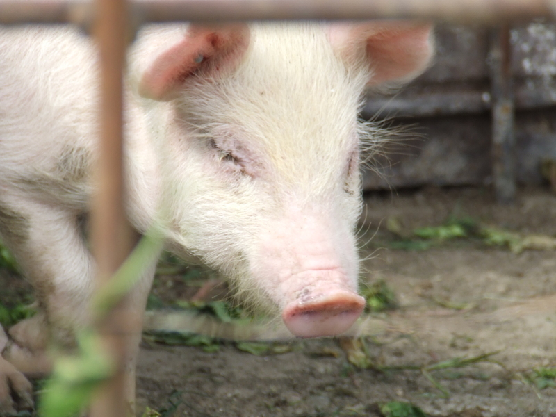 captive pigs