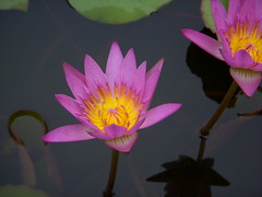Purple Lotus (DSCN1240)