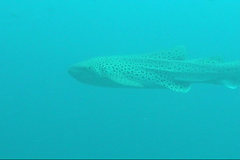 Leopard shark / Zebra shark / Stegostoma fasciatum / () (TANAKA Juuyoh ()) Tags: fish shark video underwater diving leopard zebra     fasciatum stegostoma