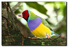 Colors of the Rainbow (Fraggle Red) Tags: bird nature florida finch aviary butterflyworld naturesfinest fpc coconutcreek erythruragouldiae canonef14xtc ladygouldianfinch tradewindspark canonef70200mmf4lisusm anawesomeshot colorphotoaward impressedbeauty wingsoftheworldaviary browardco