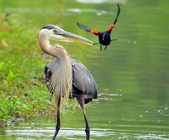 Almost There (ozoni11) Tags: lake bird heron nature birds animal animals interestingness nikon lakes explore wetlands blackbird blackbirds greatblueheron herons wetland 353 redwingedblackbirds columbiamaryland redwingedblackbird d300 greatblueherons wildelake interestingness353 i500 animaladdiction michaeloberman explore353 ozoni11