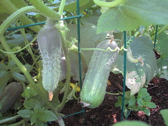 cukes on the vine!