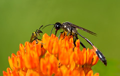Agapostemon and Ammophila (J Gilbert) Tags: newjersey wasp bee agapostemon bernardsville ammophila metallicgreen threadwaisted schermanhoffman worldbest specinsect