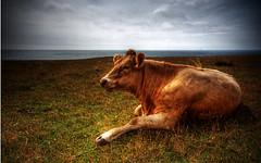 Cow(s) | HDR (u n c o m m o n) Tags: cow skne cows sweden mosaic canon350d hdr alestenar uncommon photomatix sigma1020 kseberga tonemapped marcusclaesson