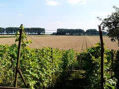 Een stukje Frankrijk in de Biesbosch (Coanri/Rita) Tags: holland grapes dordrecht agriculture neighbourhood dike zuidendijk