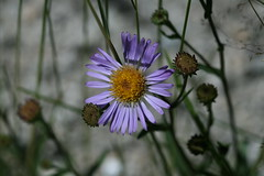 Rock Creek -  Alpine Aster (kimberzy) Tags: california wildflowers easternsierras convictlake