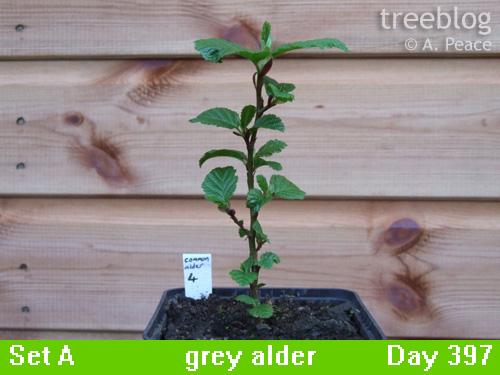 grey alder No. 4