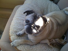 hot in the car (alist) Tags: drive pug move alist annie robison alicerobison ajrobison