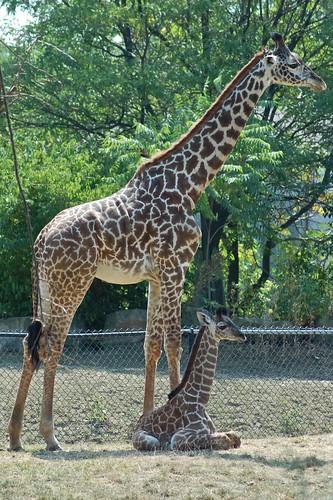 12-day-old giraffe