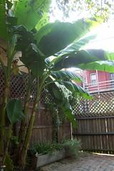 Banana Tree 09-04-08 004