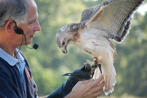 Red Tail Hawk and handler