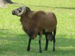 bigballedsheep (belacsregor) Tags: strange animals sheep odd gross testicles cojones