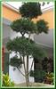 Podocarpus macrophyllus (Buddhist Pine, Japanese Yew, Chinese Podocarp)