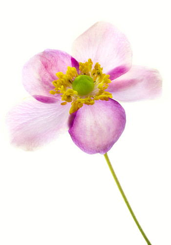 Simple Anemone