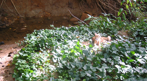 20080914 - cats visit our creek - 168-6806 - Oranjello - basking in the sun - closer - please click through to leave a comment on FlickR