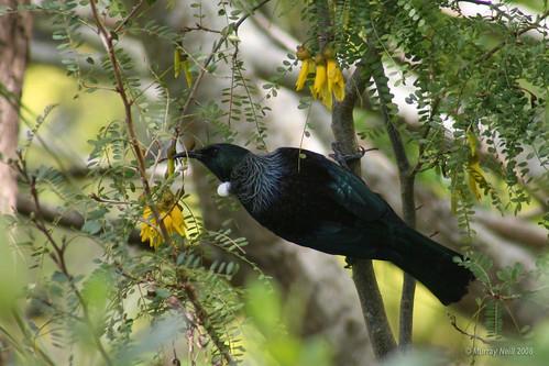 Tui feeding on Kowhai nectar