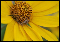 Spider on flower (Tova_) Tags: flower macro nature screw fly leaf spiders poland polska holes ladybird spidre