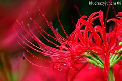 Blood and Tears (bluehazyjunem) Tags: autumn red spider early lily saitama 2008 naturesfinest kinchakuda aplusphoto flickrdiamond platinumheartawards lyricos