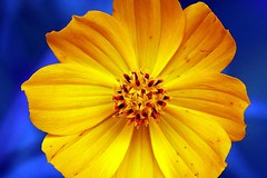 golden secret (xeno(x)) Tags: flower macro art nature yellow canon garden asia 2008 xeno 40d mywinners aplusphoto