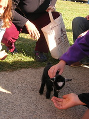 Star the Pigmy Goat